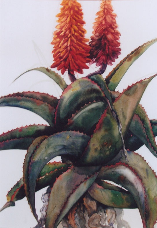 aloe watercolour