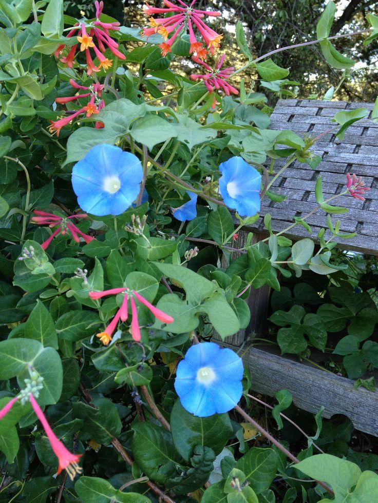 Volunteer blue morning glories growing amongst my honeysuckle vine -- platform bird feeder.
