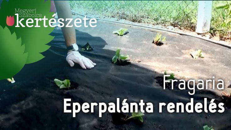 Eper fekete fólia - Szamóca fekete fólia - Fragaria - Megyeri Kertészet ...