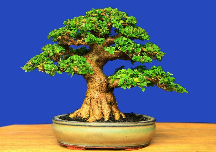 Name bonsai premna mycrophylla tree height of 15 cm high pot 4 cm length pot 14,5 cm design gede merta collection gede merta