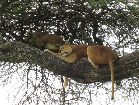Augusta gives us her top tips for spotting lions in the Serengeti after catching these two teenagers taking a siesta!