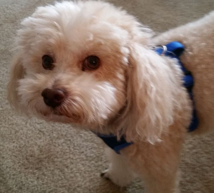 REHOMED - Rudy - Bichon Frise Poodle Mix in Austin TX | Rudy