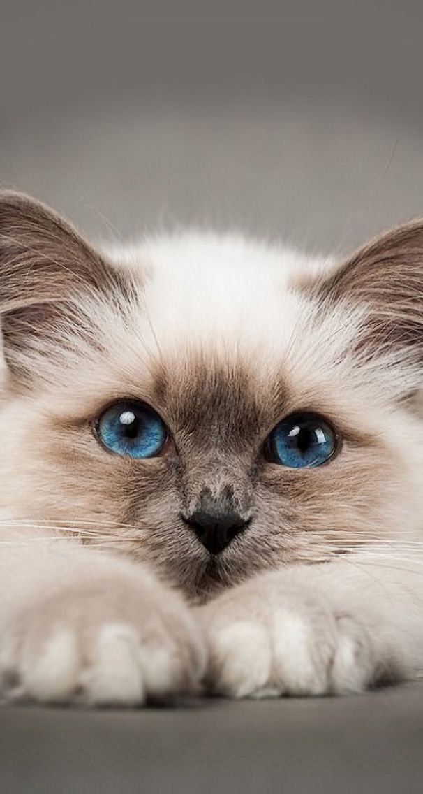 Those Beautiful Eyes Kitties Kitten Wallpaper Pretty Cats Cute Cat Wallpaper