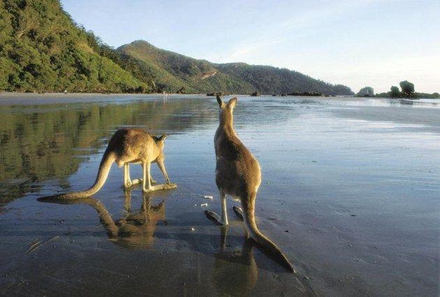 kangaroos on the beach in Mackay, North Queensland