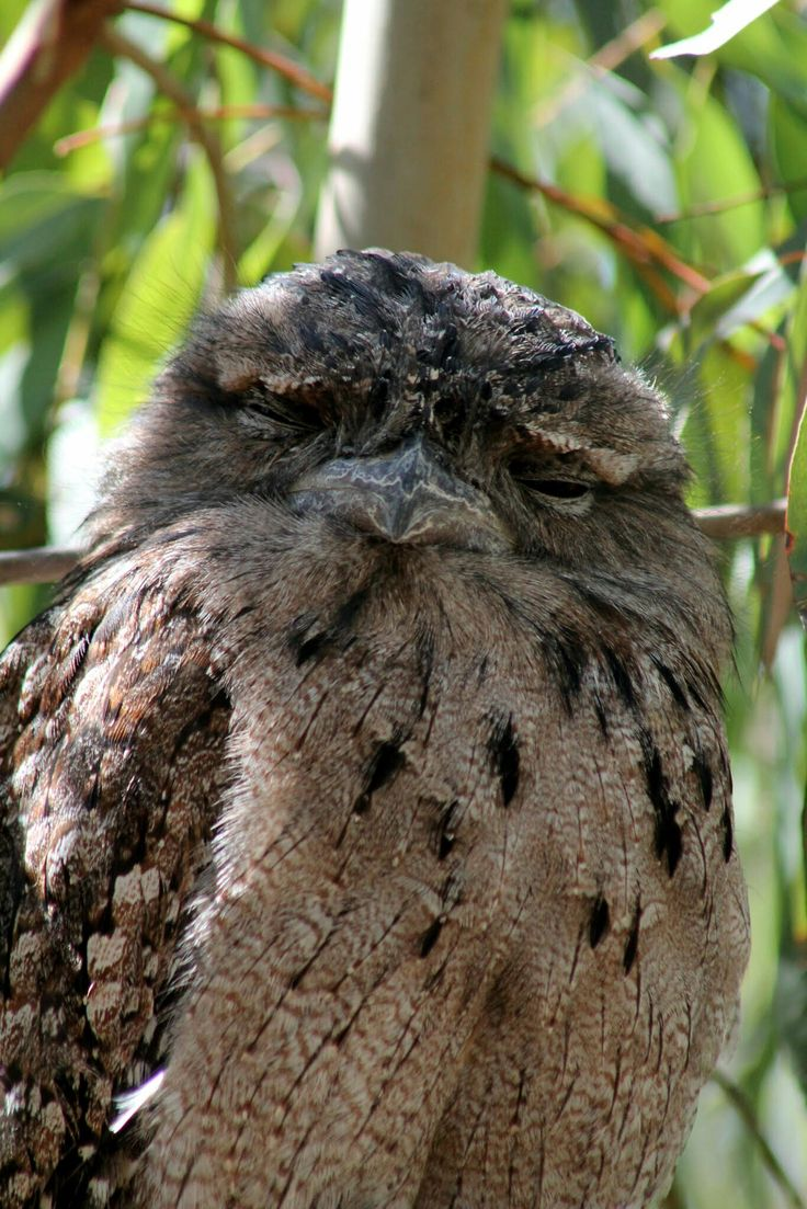 Tawny frogmouth, Serendip Sanctuary