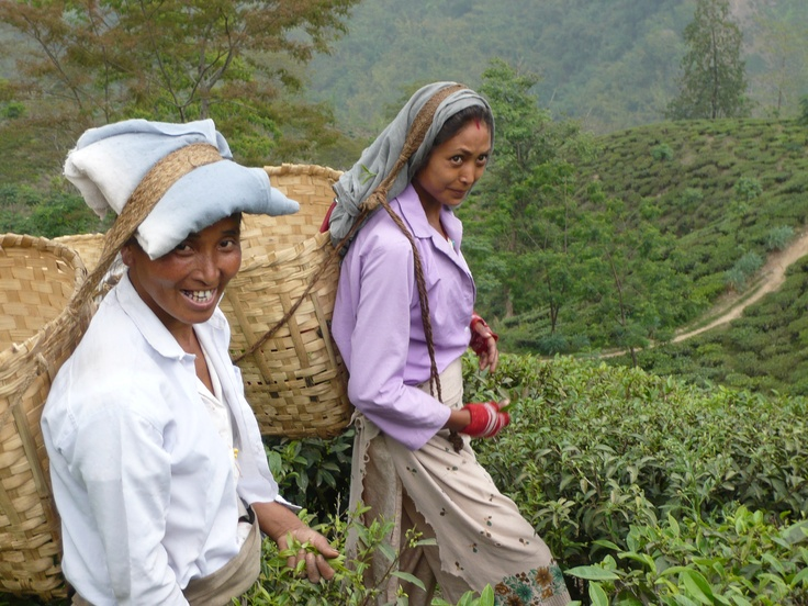 Tea Pickers at Glenburn Tea Estate, Darjeeling, India