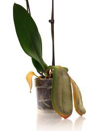 Is my orchid dying? // 10 step orchid care