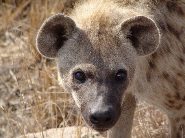 Close and personal with hyena