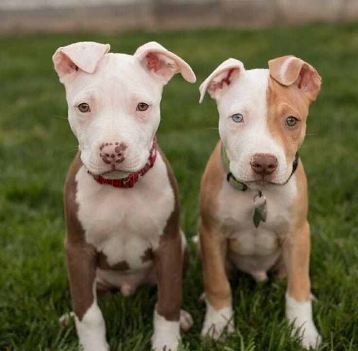 Best 25+ Pit bull dogs ideas on Pinterest | Pictures of ...