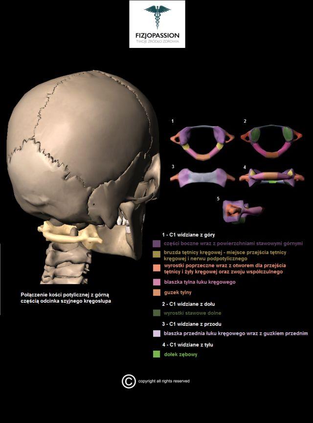 Anatomia kręgu szczytowego (C1) Anatomy of Atlas (C1) Anatomia z Fizjopassion! Anatomy with Fizjopassion!