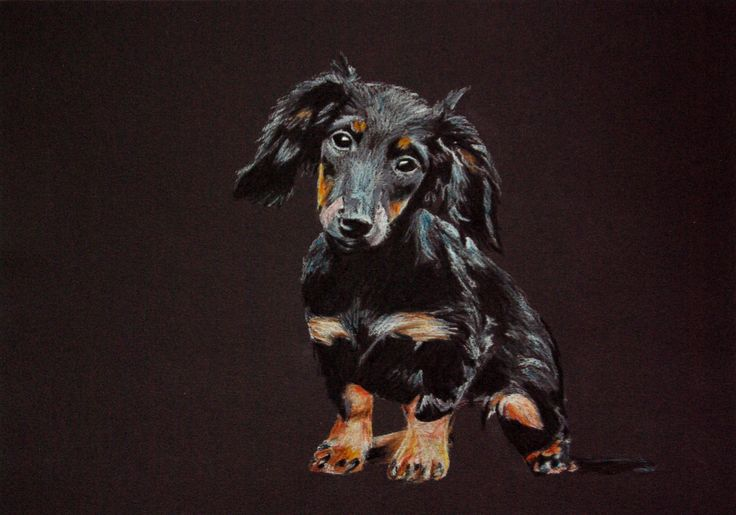 Dachshund (Mäyräkoira). Colour pencils on black paper. By Fiona Ansink