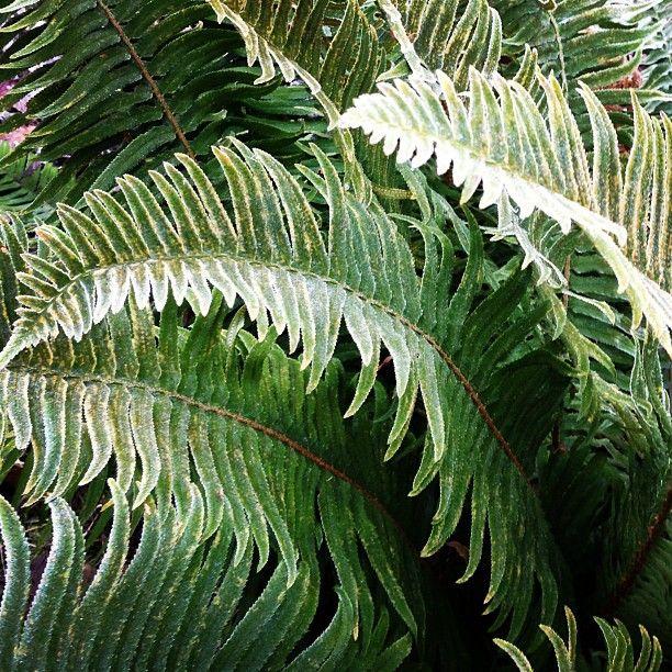 Frosty sword fern, Polystichum munitum — instagram by @fernwoodsy