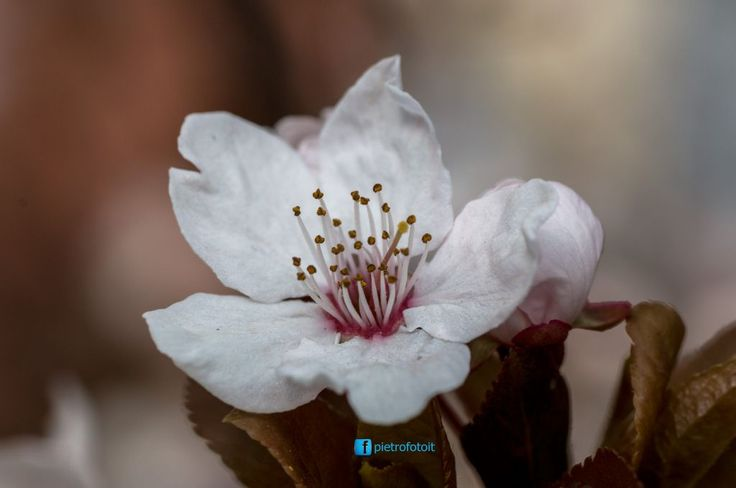 Flower of Cherry tree