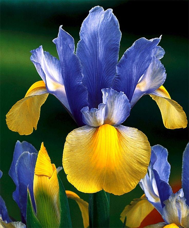 dutch iris beautiful plants pinterest. Black Bedroom Furniture Sets. Home Design Ideas