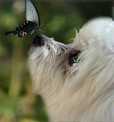 Bichon & butterfly: Beauty Dogs, Butterflies Kiss, Pet, Malt Butterflies, My Friends, Dogs Cats, Animal Dogs Malt, Rain Cats, Friends Adorable