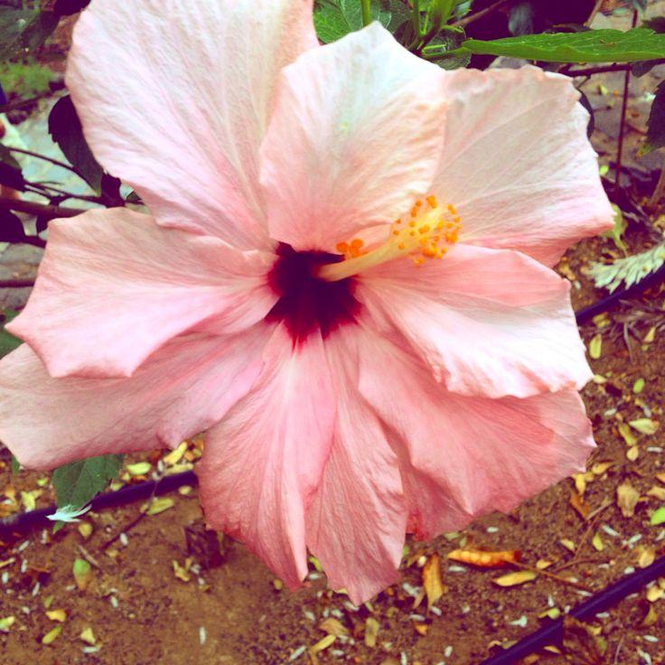 Ibiscus rosa