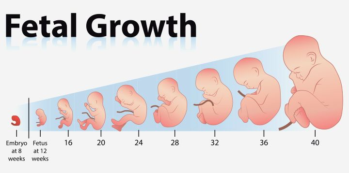 Growth Chart  Fetal Length And Weight  Week By Week
