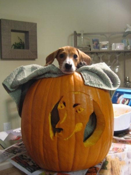 Best magusy s beagle pumpkin images on pinterest