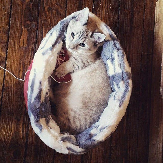 Каспер в обнимку с игрушкой. Kasper. Munchkin cat with red toy. #kasper #munchkin #munchkincat #cat #cattery #манчкин #кот #котэ #каспер #кошкатакса