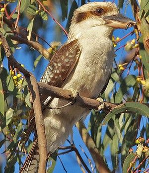 "A Kookaburra with its prey.  ""Kookaburra"" is an eastern Aboriginal word that, like many Noongar bird names, mimics the bird's chortling cry.  According to one Aboriginal story, the kookaburras' morning chorus was a signal for the sky people to light the great fire of the sun that illuminates and warms the earth."