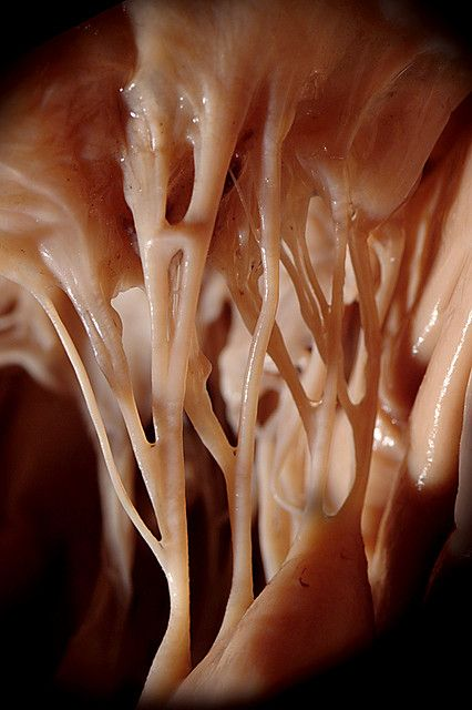 Heart strings: This is the chordae tendineae. They are connected to the bottom of the hearts valves and help pull them closed.