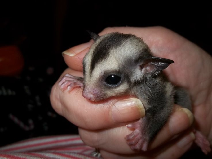 Check out http://highlandsugargliders.com!  Highland Sugar Glider  - Sugar Glider Care and Information