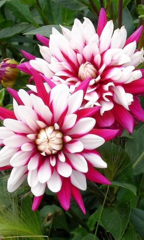 Dahlia #Thanksgiving Got me up this morning/got me up on time/had my faith and hope/my strength and my right mind!