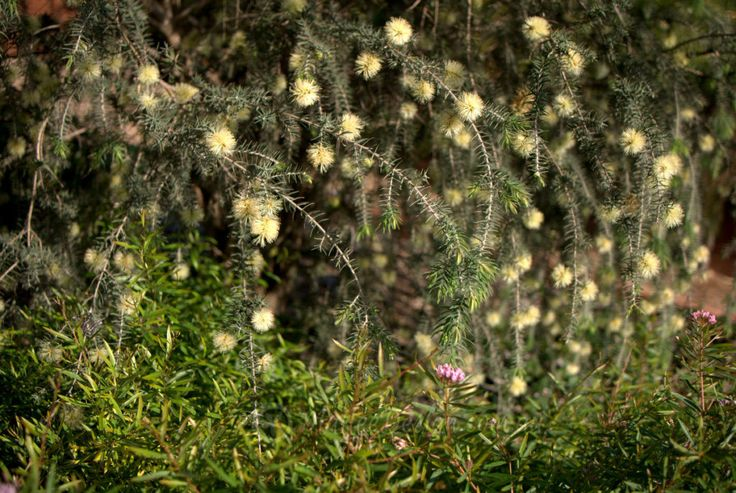 2299 best australian native plants images on pinterest