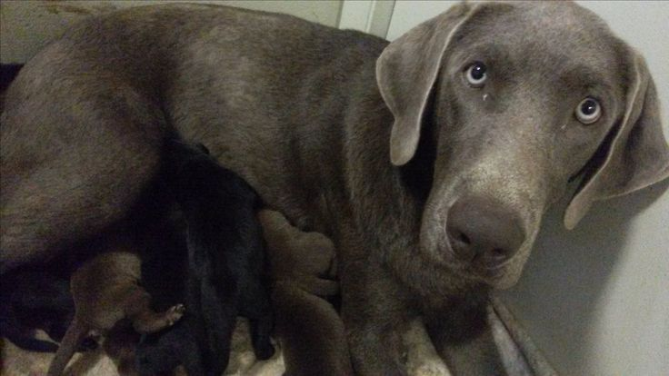 Akc Silver And Black Lab Pups Silver Labs Of Boise Facebook Page