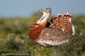 Great Bustard. I am quite desperate to see one of these on Salisbury Plain.