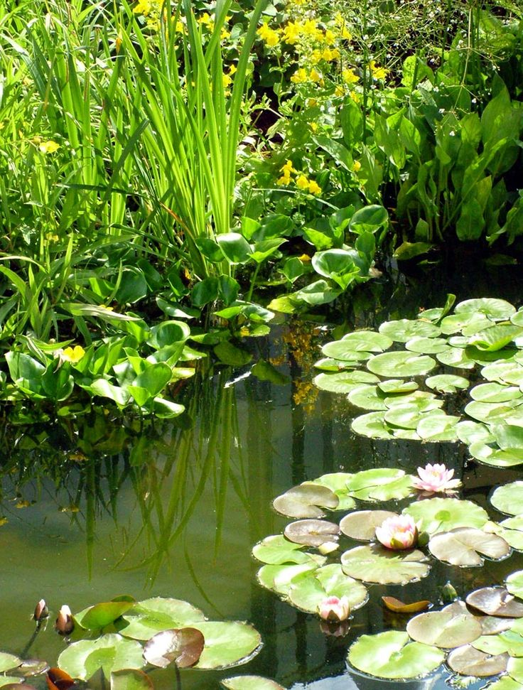 17 best images about plants flowers for a pond on for Best aquatic plants for small ponds