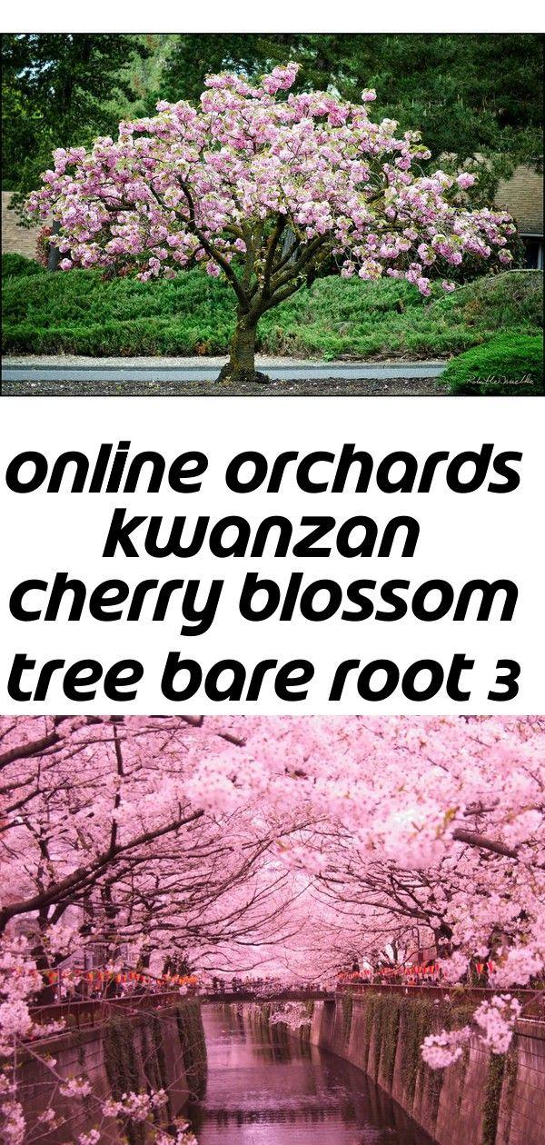 Online Orchards Kwanzan Cherry Blossom Tree Bare Root 3 Cherry Blossom Tree Blossom Trees Kwanzan Cherry