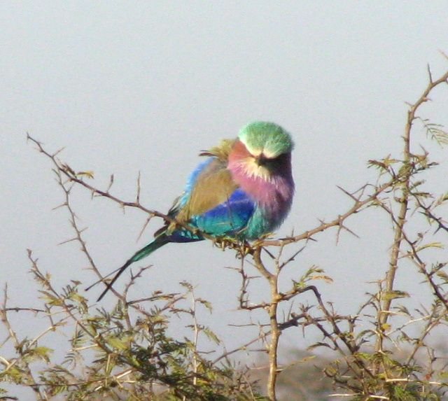Lilac breasted roller--the most beautiful bird in South Africa
