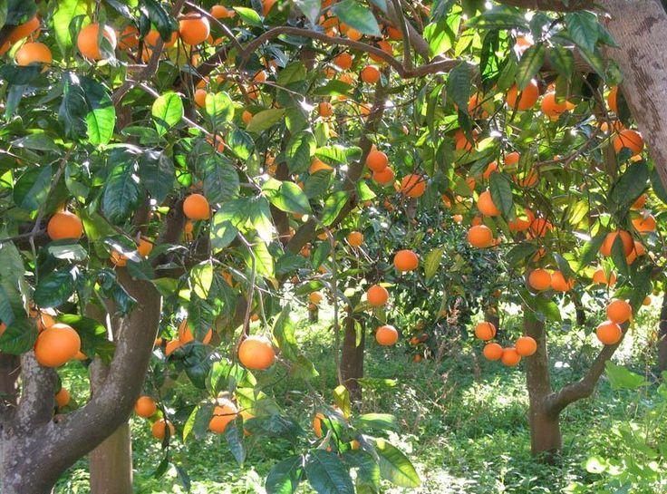 L'arancio è un albero da frutto appartenente al genere Citrus della famiglia delle Rutaceae, il frutto è l'arancia detta arancia dolce per distinguerla dall'arancia amara (Link : http://marcellanicolosi.over-blog.it/2016/01/arancio-amaro-digestivo-e-calmante-ma-attenzione.html...