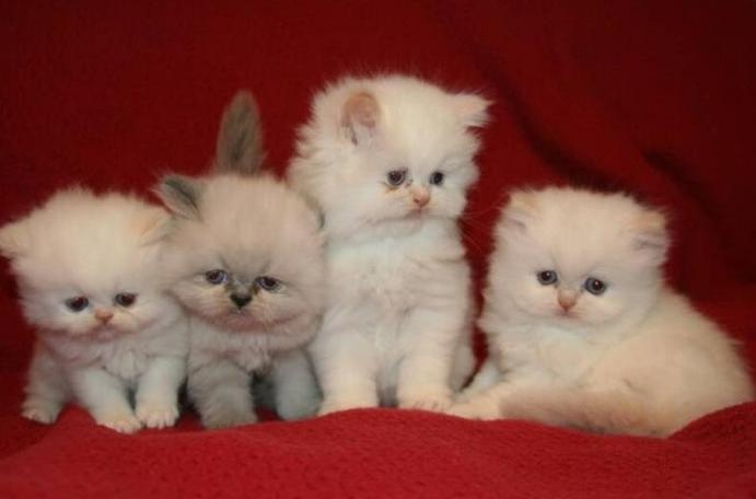 how to know if persian cat is pregnant