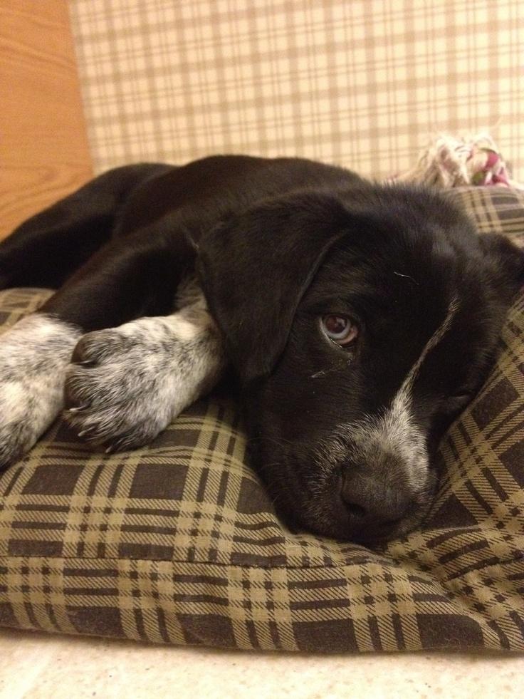 Luna the German Shorthair Pointer / Husky mix   The puppy ...