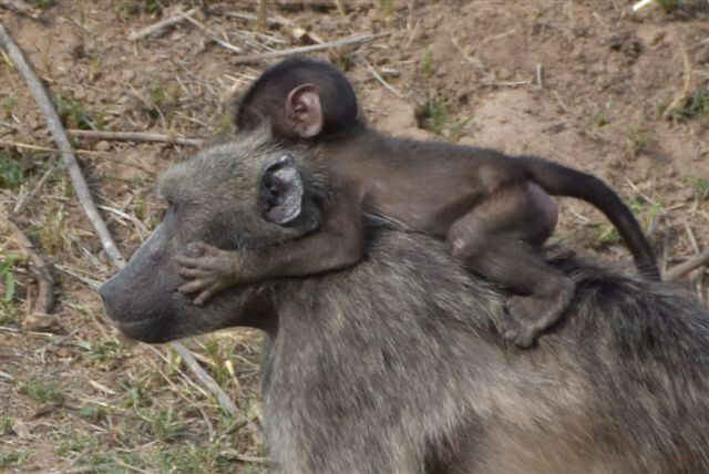 Mommy baboon with baby, Krüger Nationalpark, South Africa