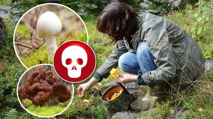 Giftiga svampar – de här ska du se upp för | Leva & bo