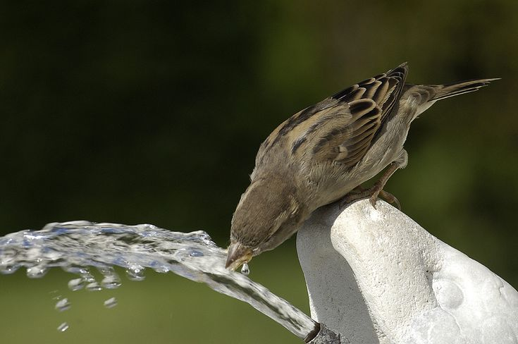 Bird drinking water from a fountain....
