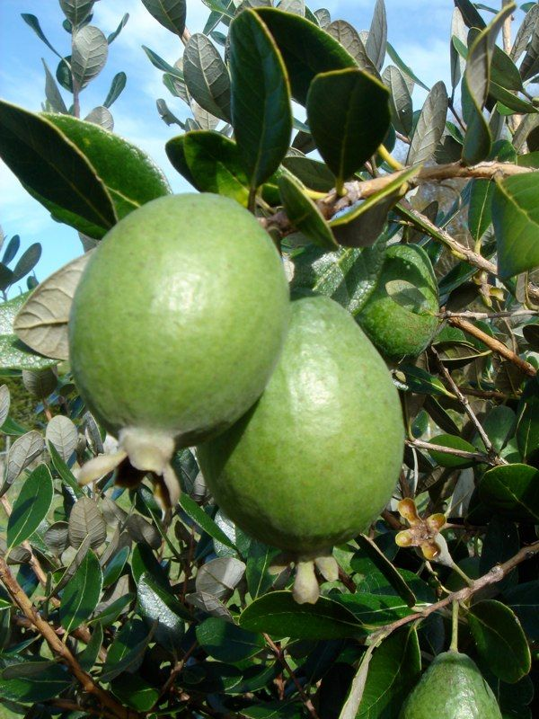 Feijoa. One of my most favourite fruits... my grandmothers tree was alway abundant in season. Most kiwis adore these fruit which are a uniquely flavoured type of guava.