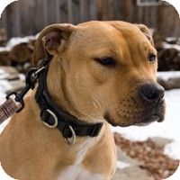 Pictures of Hunney a American Staffordshire Terrier/Labrador Retriever Mix for adoption in New York, NY who needs a loving home.
