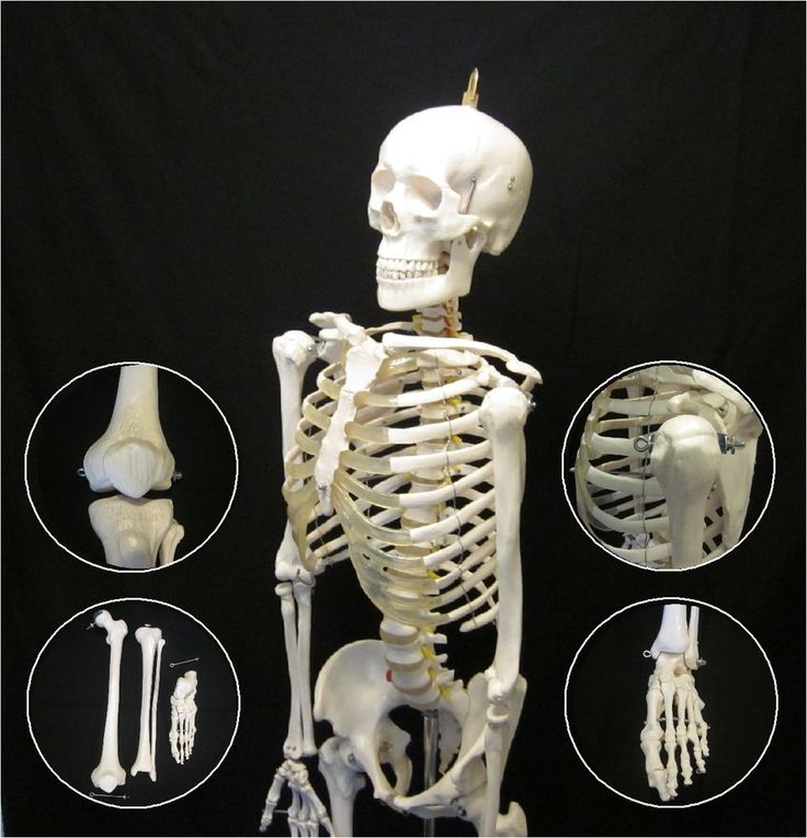 NEW LIFE SIZE ADVANCED ANATOMICAL HUMAN SKELETON ANATOMY MEDICAL MODEL + STAND