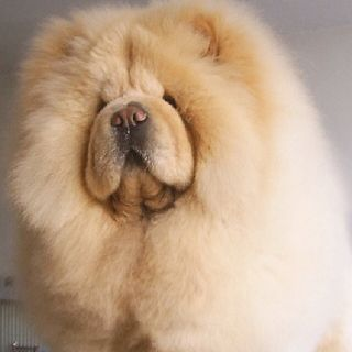 Chow Chow -- all fluffed out