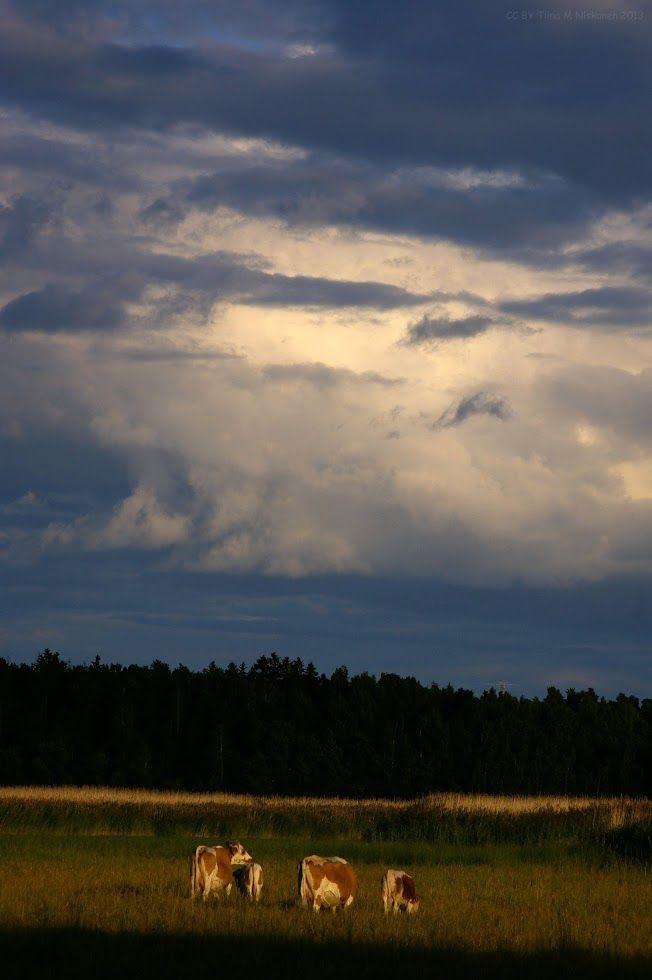 Evening pasture. Villa Elfvik, Espoo, Finland 21.7.2013  CC BY Tiina M Niskanen