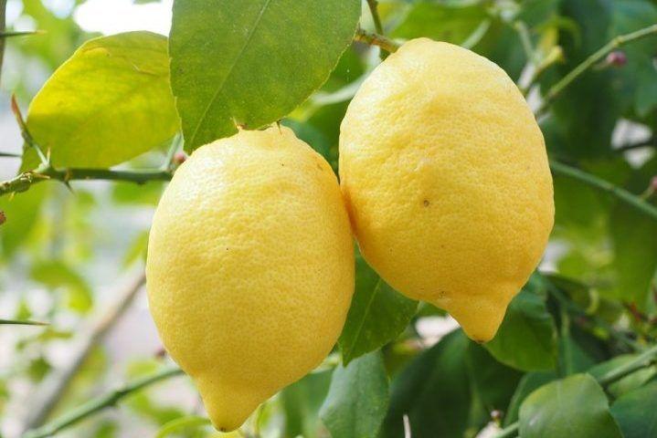 Come coltivare una pianta di limone in vaso, in giardino o sul balcone. Questo tipo di albero è molto delicato, ecco tutte le tecniche biologiche adatte.