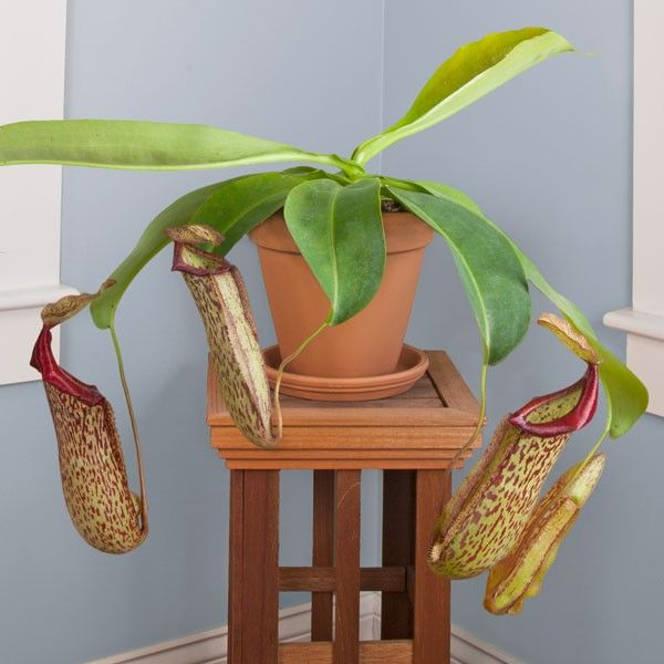 Tropical Pitcher Plant 'Miranda' (Nepenthes hybrid) - Indoor and Windowsill Plants - Indoor