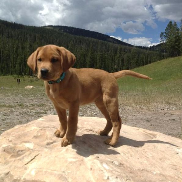 Fox Red Lab In The Montana Mountains In 2020 Red Lab Puppies