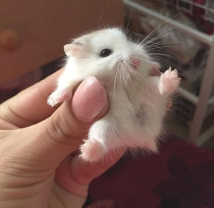 This cute little hamster Baby Animals Super Cute, Cute Little Animals, Cute Funny Animals, Tiny Baby Animals, Smiling Animals, Baby Animals Pictures, Cute Animal Pictures, Funny Hamsters, Robo Dwarf Hamsters