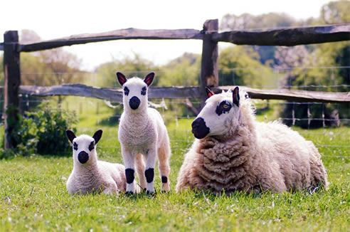 Kerry Hill Sheep