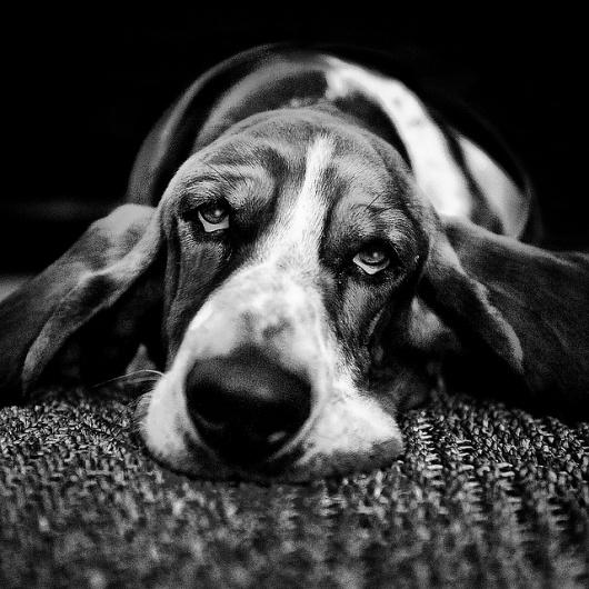 Basset Hound Dog Sitting In Garden Uk Black Tan And White ...  |Black And White Hound Dog